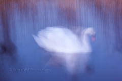 The Swan 3 (Salwa Afef) Tags: abstract reflection swan impressionism panning impressionist icm photoimpressionism