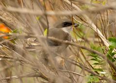 southern grey shrike (roly2008.) Tags: birds canon spain wildlife lanzarote canaryislands shrike southerngreyshrike greyshrike 100400mmmkii