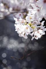 someiyoshino  #3 (hauko) Tags: flower canon tokyo spring 桜 sakura cherryblossoms canon5d megurogawa someiyoshino ソメイヨシノ canoneoskissx2