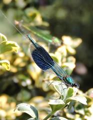 Banded demoiselle (menchuela) Tags: libelulas bandeddemoiselle menchuela
