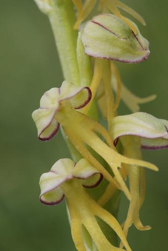 Man Orchid - Aceras antropophorum