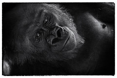 Kong (LarryE15) Tags: animals movie zoo blackwhite gorilla