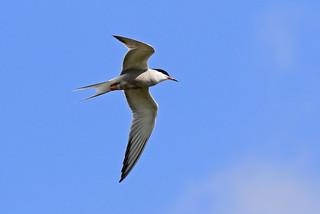 Common Tern 7Dmk2L7974