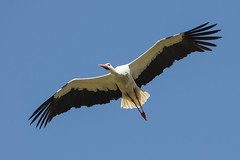 hvid stork-21 (S. Nysteen) Tags: spain extremadura whitestork ciconiaciconia hvidstork saucedilla