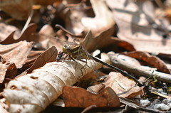 Lancet Clubtail with lunch (dbifulco) Tags: eating odonata predation lancetclubtail gomphusexilis suborderanisoptera