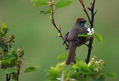 Green-tailed Towhee (Christopher Lindsey) Tags: birds washington birding greentailedtowhee wallawallacounty biscuitridge