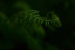 Fern (Key.in.a.Can) Tags: summer fern green denmark secret ivy odense