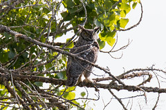 Adult Great Horned Owl keeps watch