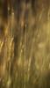 Distant Memories (Mario Morales Rubí) Tags: texture soft memories fine memory past sunsetlight distant intricate melancholic introspection goldenlight melancholia wildgrass goldensunlight goldengrass finetexture goldensunsetlight
