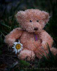 Liking the Daisies (HTBT) (13skies) Tags: bear flowers sony heat fading dying ending teddybeartuesday happyteddybeartuesday