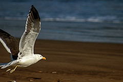 Gaviota (FyOxS) Tags: playa gaviota mar arena pajaro volar t3i canon 70300mm aire libre vuelo volando sol soleado orilla oceano ocean plumas fly