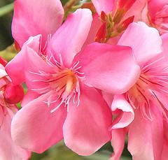 Oleander (sunbeem - Irene) Tags: holiday aruba oleander corolla poisonous flowercluster sented unsented
