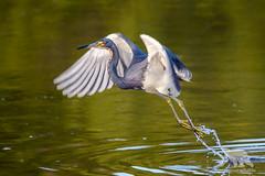 Tri-colored Heron (fascinationwildlife) Tags: animal bird waterfowl pond lake tri colored heron purpurreiher reiher vogel florida usa america ding darling nwr nature natur national wild wildlife refuge spring