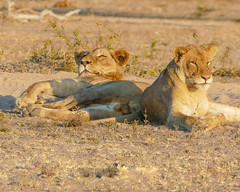Resting (MarcCooper_1950) Tags: lion lioness africa wild wildlife bush safari bigfive predator bigcats biggame animals feline fauna goldenhour sabisands arathusa lodge marccooper panasonic lumix fz1000 leica iightrrom hdr