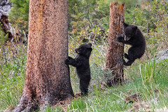 Black Bear Cubs (aland67) Tags: ursus americanus usa wildlife blackbear cub cubs tree climbing wyoming yellowstone np alanddewit