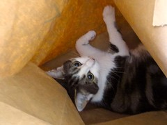 Paper bag (Pat's_photos) Tags: pet cat paper bag