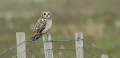 Short-eared Owl ( Asio flammeus).... (Sandra Standbridge.) Tags: shortearedowl owl fence asioflammeus scotland norfolk outdoor bird wildandfree animal northuist sc