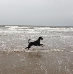 Gunner (Dls Bute) Tags: dog beach water play doberman gunner dobermann