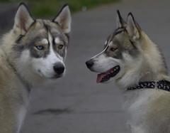 Two Tone Eyes (swong95765) Tags: dog pet cute animal eyes canine calm identical eskimodog