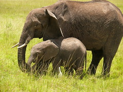 Mum and her Baby ! (Mara 1) Tags: africa wild baby face animals outdoors kenya wildlife tail mother ears mara elephants trunks masai tusks