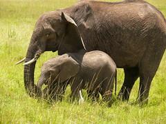 Mum and her Baby ! (Mara 1) Tags: africa wild baby face animals outdoors kenya wildlife tail mother ears mara elephants trunks masai tusks