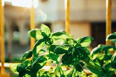 _MG_1753 (WayChen_C) Tags: basil   sunset plant
