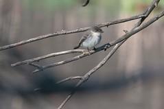 2016 Eastern Phoebe 5 (DrLensCap) Tags: park chicago bird robert nature illinois village north center il phoebe eastern kramer flycatcher