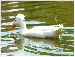 White Crested Duck .. (** Janets Photos **) Tags: uk white lakes ducks hull waterfowl publicparks