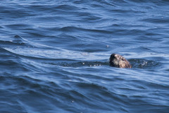 Sea Otter (J.B. Churchill) Tags: ca california mammals monterey montereyharbor places seaotter taxonomy unitedstates us