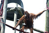 Great wingspan (vic_sf49) Tags: vicsf49 uk england dorset monkeyworld cronin