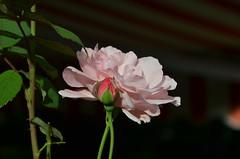 DSC_5519 (aktarian) Tags: roe flower flowers plant plants cvet bloom