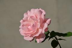 DSC_5522 (aktarian) Tags: roe flower flowers plant plants cvet bloom