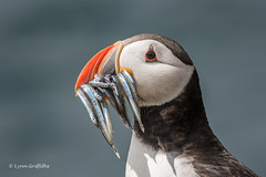 The Classic Puffin Shot D50_2305.jpg (Mobile Lynn) Tags: nature birds puffin wild bird fauna fratercula wildlife farneislands northumberland england gb coth specanimal greatphotographers ngc npc coth5 sunrays5 watermarked