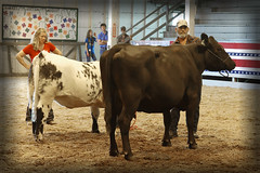 The excitement of cattle judging! (SteveMather) Tags: ohio cow fairgrounds cattle cleveland fair cuyahoga oh judging count berea 2015