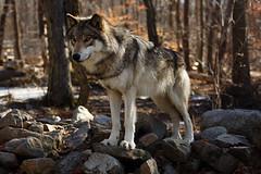 2015 March 29 Lakota Wolf Preserve-198_.jpg (jwfuqua-photography) Tags: lakotawolfpreserve newjersey timberwolf wildlife wolf jwfuquaphotography jerrywfuqua