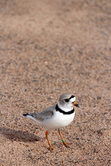 Piping Plover Banding on the Apostle Islands (U.S. Fish and Wildlife Service - Midwest Region) Tags: plover greatlakes apostleislands island wisconsin wi 2016 nature band banding bird birding endangered endangeredspecies july partner pipingplover wildlife animal june spring summer seasons