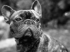 Bob2 (marcusholmqvist) Tags: french bulldog fransk black white monochrome portrait portrtt dog hund sony a7r ii