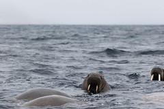 Walrus (rwoan) Tags: svalbard svalbardandjanmayen sj