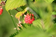 Raspberry (Attolrahc) Tags: canoneos60d canon eos 60d canonef70300mmf456isusm nature summer outdoor berry raspberry green bokeh dof leaves closeup