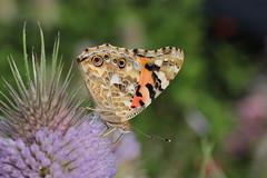 Distelfalter an Karde (Vasquezz) Tags: schmetterling butterfly insekt insect distelfalter paintedlady vanessacardui kardendistel distel karde thistle teasel blte blossom