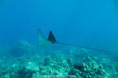 IMG_0058 copy (Aaron Lynton) Tags: lyntonproductions tako honu turtle hawaii maui underwater canon g1x spotted eagle ray octopus sea star