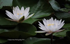 In Monet's Spirit - White Waterlily Duo [EXPLORED] (Amberinsea Photography) Tags: waterlily waterlilies water pond flowers nymphaeaceae beautiful lovely sublime photography amberinseaphotography inmonetsspirit explored explore