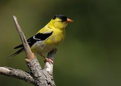 nikon D2Xs (Rich de Tilly utilisateur Nikon) Tags: nikon naturesauvage nature nikond2xs d2xs oiseau oiseaux couleurs lumire tamron tamron150600mm animalier animal attitude bird birds jaune chardonneret