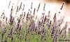 Lavanda (ℝakel_ℰlke ﴾͡๏̯͡๏﴿) Tags: rakel raquel elke rakelelke raquelelke rakelmurcia granada andalucía nikon nikond300s d300s nikkor18–200 objetivo18200mm reinoplantae divisiónmagnoliophyta clasemagnoliopsida ordenlamiales familialamiaceae subfamilianepetoideae tribulavanduleae génerolavandula lavanda alhucema espliegoocantueso espliego cantueso flower fleur fiore blumen кветка květina cvjetni kvetina floro lill lore kukka blodau λουλούδι פרח फूल paj bloem virág bunga blóm フラワー zieds žiedas цвет kwiat floare цветок blomma çiçek квітка hoa