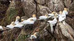 Fous de Bassan (gilbert.calatayud) Tags: fou de bassan morus bassanus northern gannet sulids bretagne