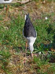 1312-18L (Lozarithm) Tags: owslebury hants marwell birds stilts sigma 70300 sigmaaf70300mmf456apodgmacro