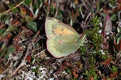 Colias hecla sulitelma (female) (K. Zyskowski and Y. Bereshpolova) Tags: pieridae colias hecla sulitelma lapland sweden