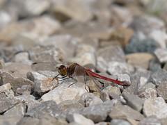 Blutrote Heidelibelle (Ina Hain) Tags: panasonicfz1000 libelle grn see heide wasser insekt schilf green herbst fz1000 nature animal natur bavaria dragonfly farben sptsommer bayern water