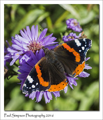 Red Admiral (Paul Simpson Photography) Tags: redadmiral insect butterfly colour september2016 sonya77 paulsimpsonphotography photoof photosof imagesof imageof naturalworld normanbypark colourfulinsect colorfulinsect beauty britishbutterflies