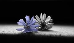 Senza nome...nameless (salernolorenza) Tags: selectivecolor flowers nikond5100 coloreselettivo fiori